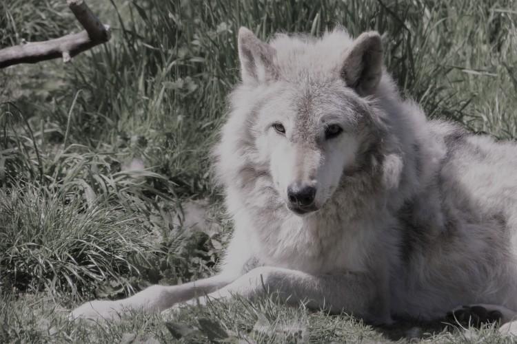 North American gray wolf