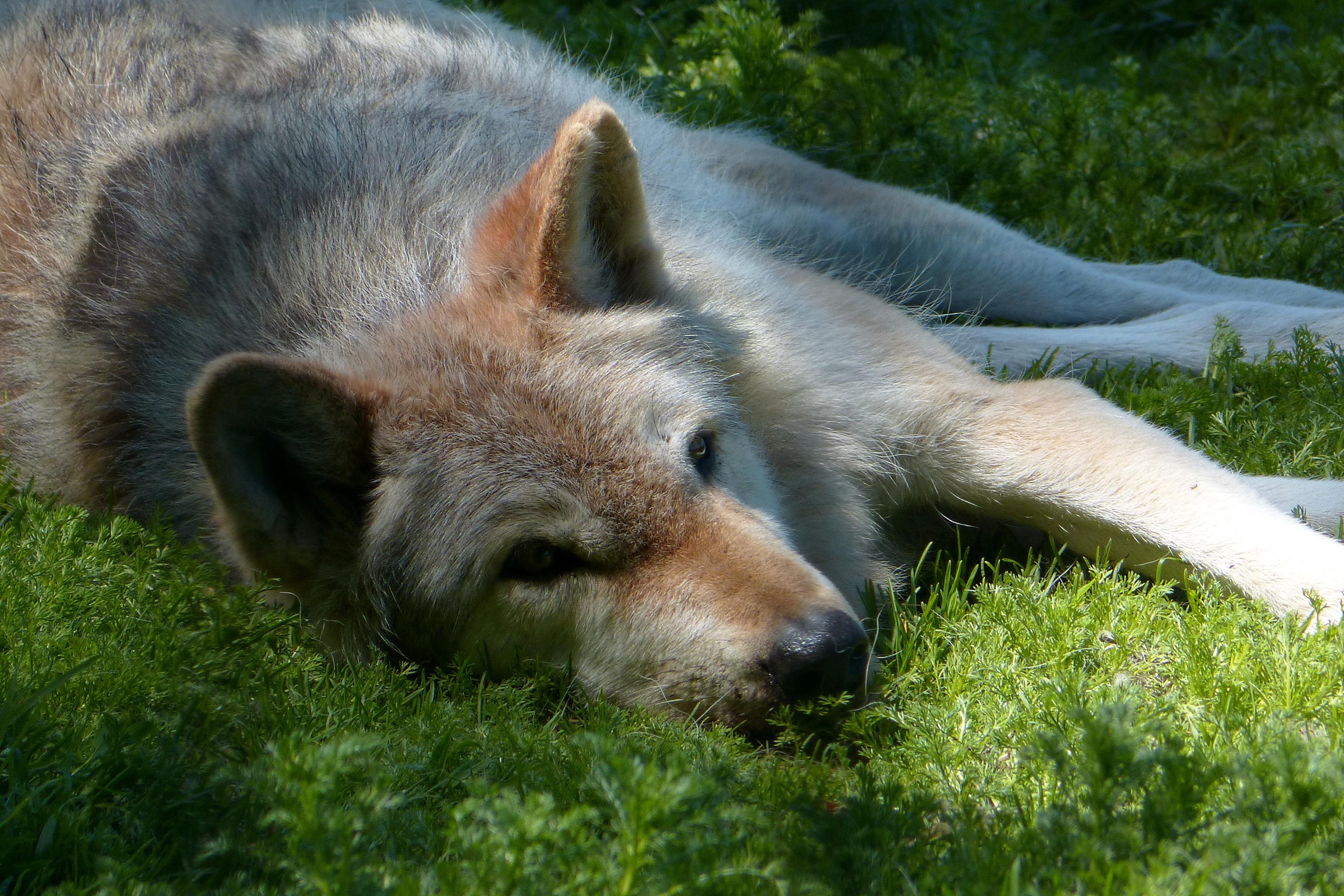 American gray wolf